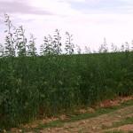 Investigan el carácter invasor de una de las plantas con mayor potencial para la producción de biocombustible
